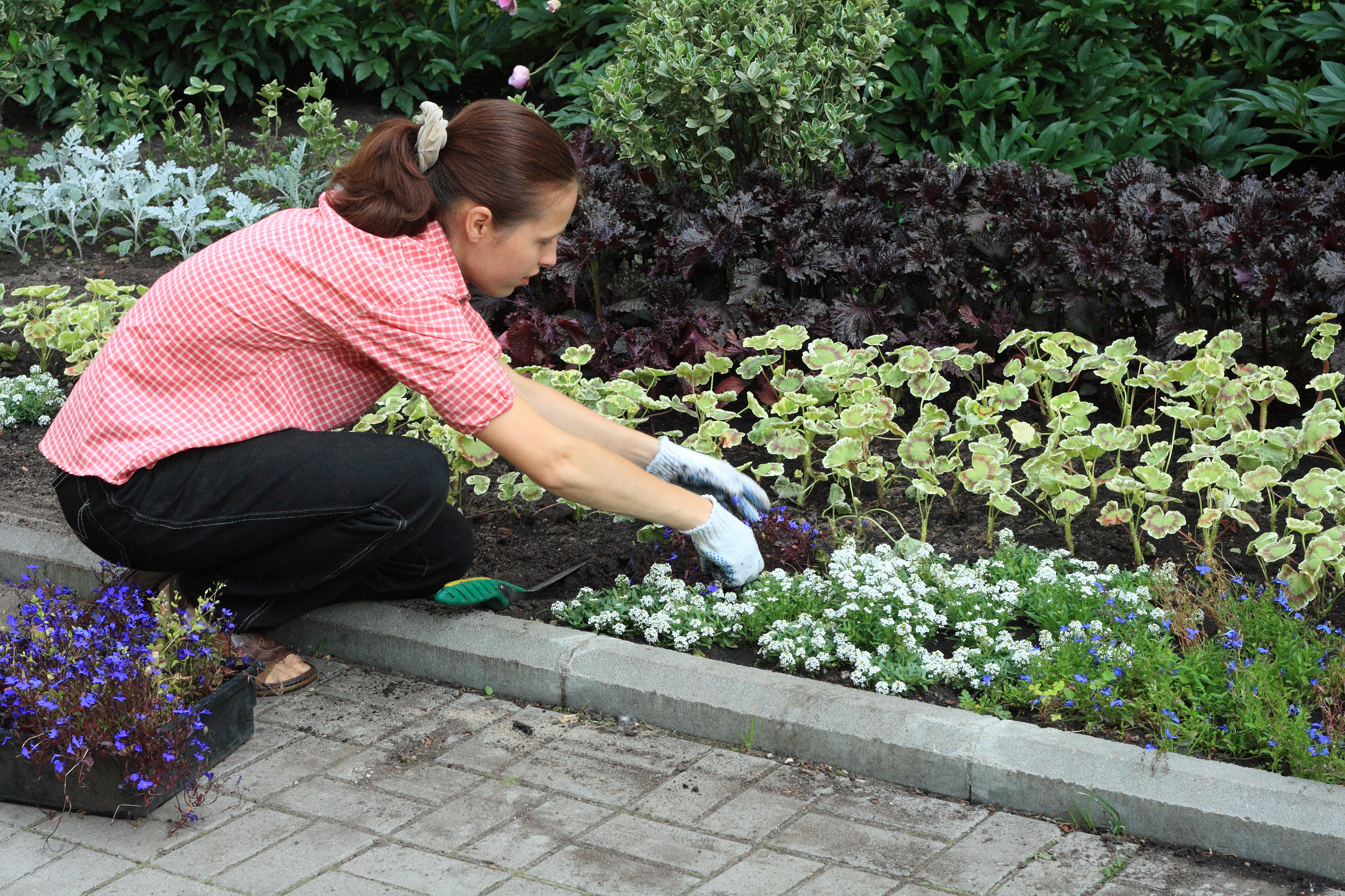 Young woman planting out blue lobelias in a garden